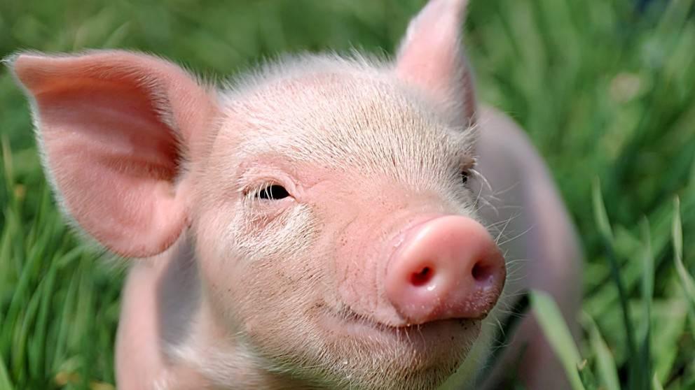 ВКурганской области выставили круглосуточные посты для защиты отафриканской чумы свиней